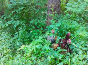 Chickens in the wild.