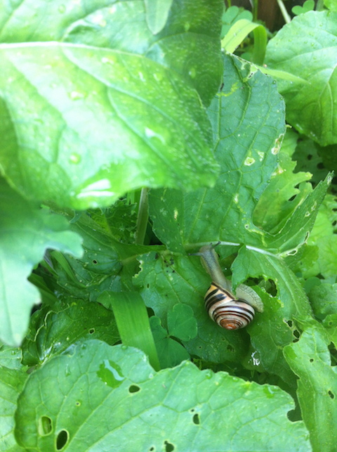 Snail in the garden.