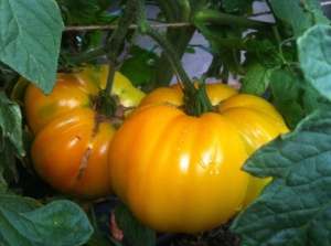 Gold Medal tomatoes, no blight. Yet...