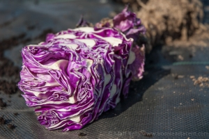 Calibos cabbage