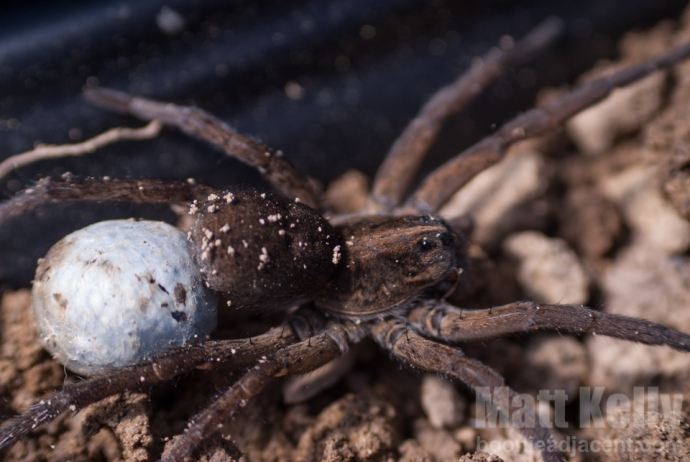 Big, honkin' Wolf Spider